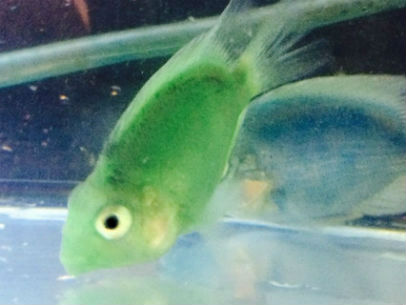 Buy Green Parrot Cichlid Fish