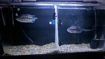 Parachromis dovii for Sale