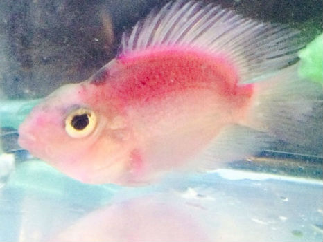 Buy Blue Parrot Cichlid Fish