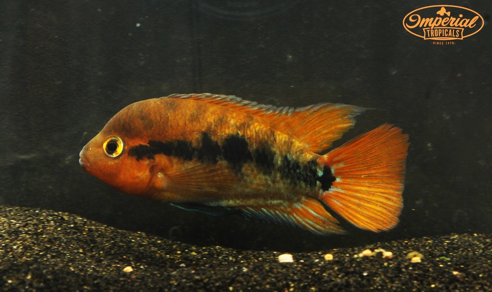 Unsexed Red Rainbow Cichlids