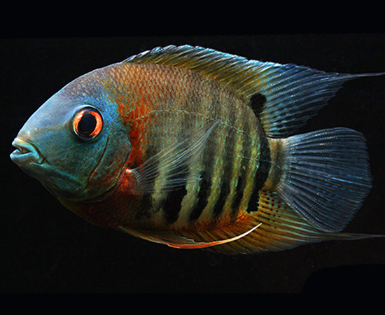 Red Shoulder Severum