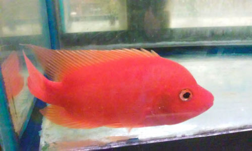 Buy Rose Queen Cichlids online