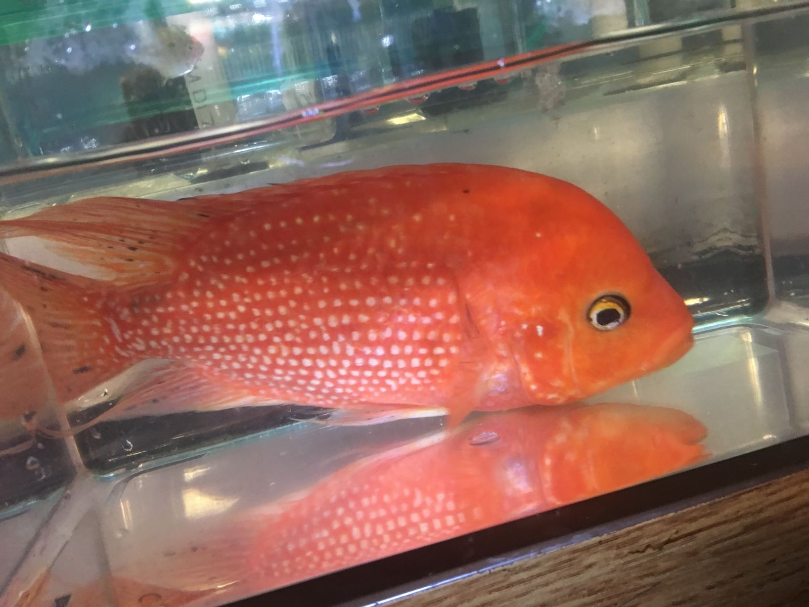 Large Red Texas Cichlid for Sale
