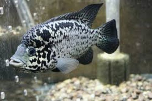 Cuban cichlids for sale online