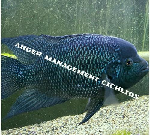 Order Gorillus Blue Umbee cichlids here