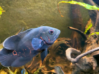 Oscar fish as pets