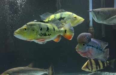Monoculus Peacock Bass Cichlid For Sale