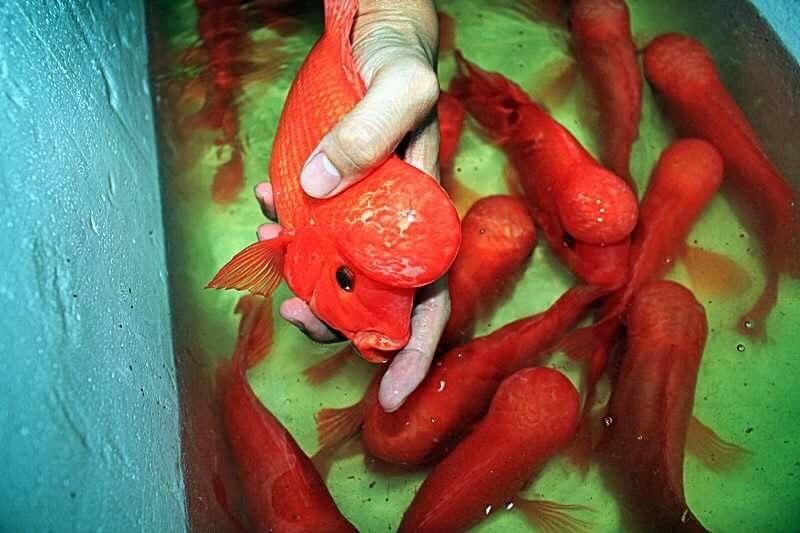 Red Mammon KKP For Sale Online