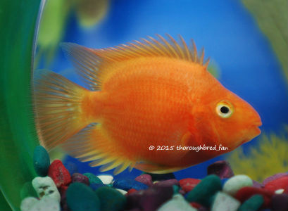 "Buy Red Parrot Cichlids 3.5"" +"