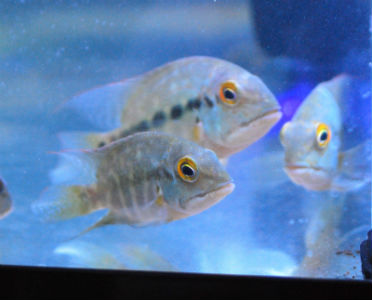 Hoplarchus psittacus A Rare South American Cichlid